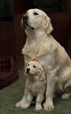 Golden Retriever Mom and son #goldenretriever