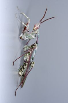devils flower praying mantis