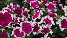 Připravte si z ní bylinnou tinkturu! Pesto, Rose, Flowers, Plants, Balcony, Pink, Plant, Roses, Royal Icing Flowers