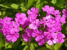 hardy perennial, hardy to Zone 3, Phlox, Phlox paniculata, large variety, Tall Garden Phlox, Phlox Specialists in Vermont, native plant, mildew resistant, southern variety, Robert Poore, shopping for Phlox