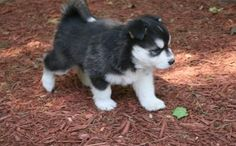miniature siberian husky puppies for sale Cute Puppies