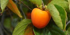 Kaki: Jak je pěstovat a jak je jíst