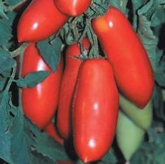 San Marzano Tomato (Red) 48 Plants - Hybrid and Vigorous Tomato Seedlings, Tomato Seeds, Tomato Plants, Varieties Of Tomatoes, Growing Tomatoes In Containers, Perennial Vegetables, Fresh Fruits And Vegetables, Eggplant Seeds, Tomato Growers
