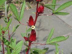 Roselle (Hibiscus sabdariffa) is a species of Hibiscus native to West Africa Tropical Garden, Tropical Plants, Roselle Plant, Hibiscus Sabdariffa, Tea Plant, Different Fruits, Bird Tree, West Africa, Garden Planning