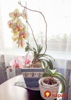 O rozmnožovaní orchideí som čítala len v súvislosti s odstrihnutím výhonku s koreňmi (keiku) a jeho vložením do substrátu, existuje však aj iná možnosť a práve tú som vyskúšala.