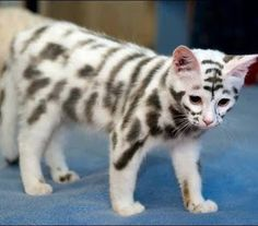 Kitty with unique tiger type skin markings. <3 :O