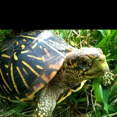 ornate box turtle behold the turtle he makes progress only when he sticks his