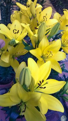#Yellowlillies....