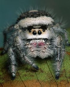 Jumping Spider.  He looks like he's wearing a Ushanka--a Russian Fur Hat!!!