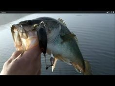 First AJLures Topwater Video of the Season!  That Buzz is more than three years old and is missing its tail, but it keeps on catching the big ones so I just keep throwing it.  You can buy your own at http://AJLures.com