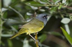 MacGillivray's Warbler(Geothlypis tolmiei)