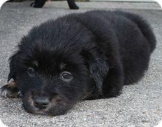 SUCCESS:  ADOPTED!!! Australian Shepherd/Rottweiler Mix Puppy for Sale in Baton Rouge, Louisiana - Bear