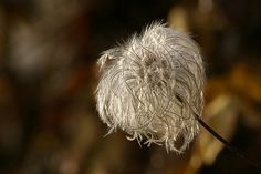 Clematis seedhead by mellting, via Flickr