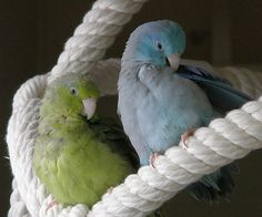 blue and green parrotlets preening Cockatiel Toys, Cockatiel Care, Bird With Big Beak, Pacific Parrotlet, Small B, Bird Toys, Parakeet, Love Birds, Colorful