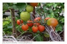 opory pro rajčata Vegetables, Vegetable Recipes, Veggies
