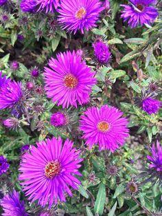 Aster Aster dumosus 'Jenny' - Kwekersvergelijk Aster, Fingers, Green, Plants, Perennial Grasses, Bulbs, Plant, Planting, Planets
