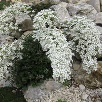 Saxifraga callosa - Making an impressive show when it flowers, this rarely-seen plant makes rosettes of linear, lime-encrusted, silvery-grey leaves, from which erupt large arching stems carrying congested panicles of starry white flowers. AGM winner