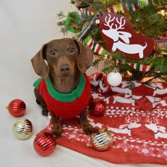 @ScrappyTheDoxie getting his Merry & Bright on with an adorable sweater and a doxie blanket from TheSmootheStore.com
