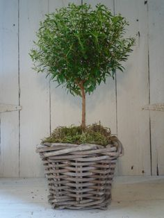 Topiary Myrtle in Basket Basket Planters, Garden Planters, Hydroponic Gardening, Organic Gardening, Container Plants, Container Gardening, Potted Plants, Indoor Plants, Boxwood Topiary