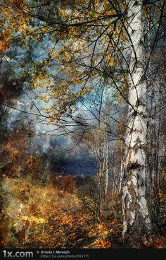 FALL BIRCH TREE