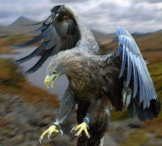 White Tailed Sea Eagle Set Free | by Steve
