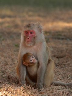 Rhesus Macaque: A.A Northern portions of India are where you will find the Rhesus Macaque; Thailand, Vietnam, and South China are just a few of the places where they are found also. Primates, Mammals, Ueno Zoo, Pet Monkey, Monkey Business, Beautiful Creatures, Animal Kingdom, Old World, Pet Birds