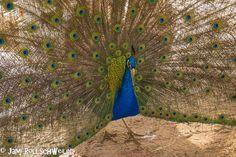Peacock in Moab, Utah