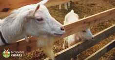 Keeping your goats in with the perfect goat fencing shouldn't be a headache. We share our tips, experiences and the basics of keeping your goats happy. Feeding Goats, Raising Goats, Raising Chickens, Cabras Boer, Goat Fence, Female Goat, Goat Shed, Fun Christmas Party Games, Happy Goat