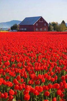 Skagit Valley barn beside the tulip fields in Washington State. Beautiful World, Beautiful Places, Beautiful Pictures, Tulip Fields, Red Tulips, Red Flowers, Flowers Bucket, Washington State, Belle Photo