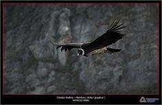 Condor andino hembra