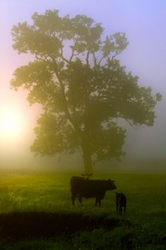 Beautiful foggy morning in the cow pasture