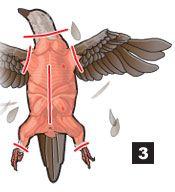 Field dressing a bird