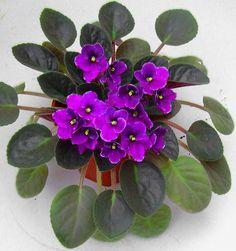 Violetas com flores durante o ano todo