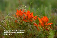 Indian Paintbrush and Grasses, Colorado Fine Art Photography