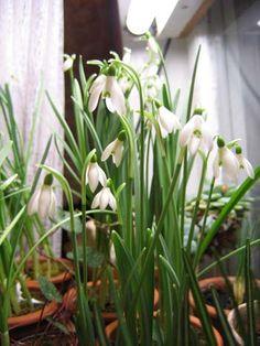 Выгонка подснежников с таблицей растений, пригодных для выгонки