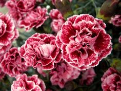 Whetman Pinks Dianthus 'Scent First™ Sugar Plum' available in rooted cuttings from GroLink Plant Co. Flower Beds, My Flower, Sugar Flowers, Wild Flowers, Pink Perennials, Pink Perfume, Orchids Garden, Language Of Flowers