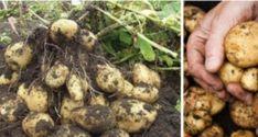 Loading... Pokud bychom měli určit, jaká surovina v kuchyních je v rámci většiny domácností po celém světě nejvíce využívaná, brambory by určitě figurovali někde na vrcholu tohoto žebříčku. Dost možná by se jim podařilo vystoupat až na samý vrchol! Pokud bychom se ovšem lidé zeptali, jestli mají nějaké zkušenosti s jejich pěstováním, jen hrstka z … Samos, Stuffed Mushrooms, Pesto, Beans, Potatoes, Gardening, Vegetables, Food, Decor
