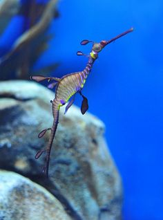 Weedy Sea dragon (Phyllopteryx taeniolatus)    Phyllopteryx taeniolatus, also known as the weedy seadragon or common seadragon, is a marine fish related to the seahorse. Adult weedy seadragons are a reddish colour, with yellow and purple markings; they have small leaf-like appendages that provide camouflage and a number of short spines for protection.    Photographed at the Georgia Aquarium.