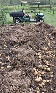 Growing Potatoes: The Lazy Bed Method: cover potatoes with an inch or 2 of soil. As soon as they sprout, loosely add straw, hay or leaves to a depth of 12 to 18 inches. Pull hay back in the fall to find the potatoes.