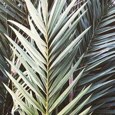 Close-up of palms in Sanremo.