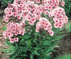 Garden Phlox | Bloom IQ