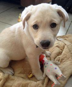 Mila the Labrador Retriever