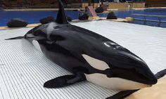 <p>While SeaWorld recently made the incredible announcement that it will no longer breed its orca whales in captivity, concerns are growing over the fate of its wild-born orca, Morgan.</p>