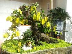 Bonsai belimbing - Star fruit tree, Carambola. (Averhoa carambola).