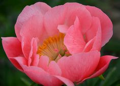 Beautifully formed soft, cameo pink. Opening buds look like spring tulips. Nice clean bright green foliage. Well presented blossoms with thr...