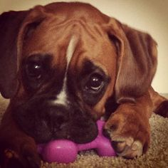Zoey is a 4 month old boxer who loves getting into everything and chewing on anything she can find. #boxer #puppy Christine, Associate Marketing Manager/Market Research Analyst