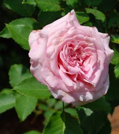 Rosa 'Belinda's Dream,' another disease resistant rose from Dr. Baseye in TX.