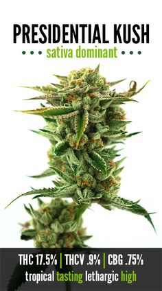 Presidential Kush, by The Green Solution http://hollandseeds.org/manufacturer.php?id_manufacturer=6