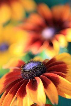 Autumn Sunflowers.....