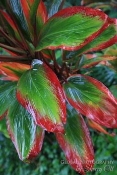 Houseplants That Filter the Air We Breathe Ti Leaf Plant On The Big Island Of Hawaii Tropical Paradise, Tropical Garden, Tropical Plants, Crotons Plants, Ti Plant, Succulent Names, Shade Garden Plants, Garden Site, Plant Needs